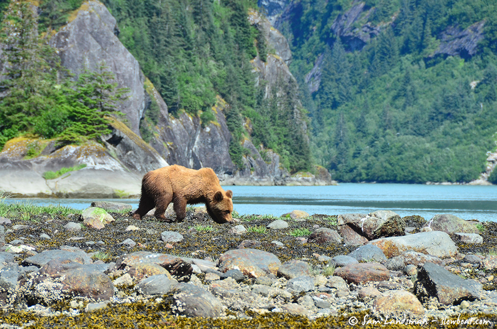 A brown bear searches for lunch.